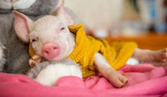 This little piggy shows us how all farm animals should live.  Rescued baby pig gets to live as 'someone' not 'something'.  Love this.