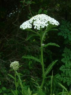 Yarrow. Leaves are effective first aid 2 stimulate clotting in cuts and abrasions. Poultice of the leaves can be used on burns. Well diluted tea can be effective for fevers.