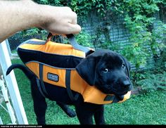 Labrador Puppy's First Life Vest