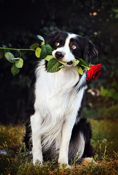I swear, Border Collies are willing to do anything for a person with a camera. *SMH and grinning*