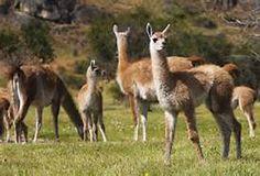 baby guanaco - Bing Images