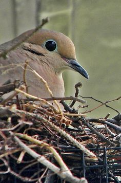 Spring 2014  We had a dove nesting in the oak tree in our backyard.