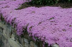 "Creeping Thyme 6""-8"" Tall 8""-12"" Wide Evergreen Blooms In Spring available in a variety of colors Plant in Full Sun in Alkaline or Neutral soil that is Semi-Dry Growth rate is www.greenprintLED.com"