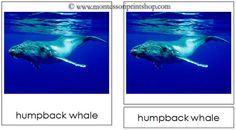 Whale Cards - Montessori 3-Part Classified Cards - Printable Montessori Learning Materials for home and school.