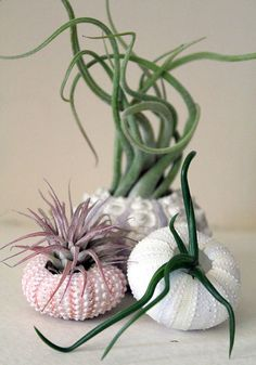 trio // air plant sea urchins // by robincharlotte Air plants - so stunning like an air aquarium!Air plants - so stunning like an air aquarium! Air Plants, Garden Plants, Indoor Plants, House Plants, Indoor Herbs, Moss Garden, Cacti And Succulents, Planting Succulents, Planting Flowers