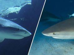Requin-tigre et requin-bouledogue