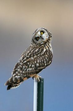 Short-eared Owl (overall finalist 2007) The Great Backyard Bird Count by Ted Schroeder, Oregon