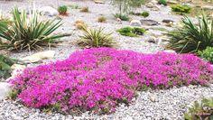 Creeping Phlox subulata & Yucca filamentosa in a gravel garden