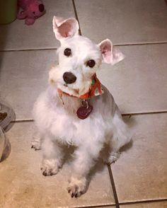 Don't I look great.   ROSIE rescue Schnauzer rescue pup rescue dog mini Schnauzer shelter pup shelter dog Instagram  dogs schnauzers mini schnauzers cute animals white schnauzers