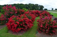 Plant Introductions, Inc. Lagerstroemia selections