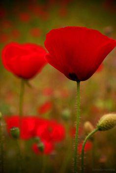 Dancing Queen Poppy by Daniel Amoreira