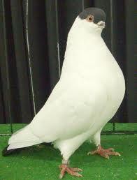 helmet pigeon - Google Search