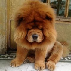 Chow chow puppy, I want one under my tree this Christmas with a bow on it in a basket. Hint hint Jesse