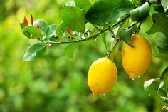 Lemon Essential Oil - Welcome in the Wintry Season - Mellow Yellow ■ 10 drops Lemon   ■   7 drops Pink Grapefruit  ■   5 drops Sweet Orange.  Mix the essential oils and then add to a diffuser before family and friends arrive.    It's sure to promote happiness, playfulness, creativity and thankfulness!