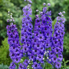 delphinium blue jay