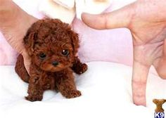 Royal Teacup Poodle Puppy. I'm determined to have another toy poodle