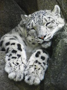 snow leopard sleeping/ Melissa most the time I Love Cats, Big Cats, Cats And Kittens, Cute Cats, Pretty Cats, Beautiful Cats, Animals Beautiful, Gato Grande, Exotic Cats