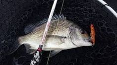 Do you want to learn the excellent barramundi fishing tips? Just come to us and explore the adventure and thrill of catching a barramundi. Also get to know about the superb fishing equipments to catch fishes easily.