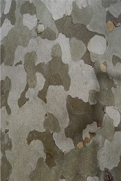 Arizona sycamore tree bark-Vert.jpg (600×902)