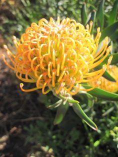 Leucospermum Ayoba Peach di Flora Toscana Australian Native Flowers, Cut Flowers, Fungi, Evergreen, Shrubs, Flora, Peach, Garden, Art