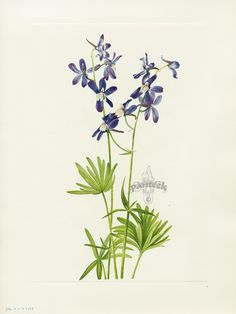 "Antique prints of ""Slim Larkspur"" from Walcott North American Wild Flowers 1925"