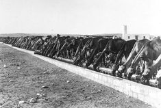 Camels line a huge watering station, Asluj, Palestinian campaign, 1916.