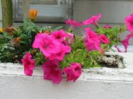 10 Advice That You Must Listen Before Embarking On Petunia Flower Name In Hindi Petunia Flo In 2020 Petunia Flower Flower Names Petunias