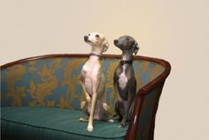 love italian greyhounds