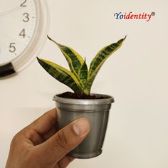 Snake Plant is a popular houseplant with leaves having dark green centers that are surrounded by light yellow to gold edges.  What makes it special: NASA recommended air purifier plant. Best plant for AC rooms, office desk, etc. Zero maintenance plant. Best indoor plant for low light condition Popular houseplant with wavy cross stripes. Buy Indoor Plants, Outdoor Plants, Online Plant Nursery, Natural Air Purifier, Buy Plants Online, Low Light Plants, Snake Plant, Houseplant, Cool Plants