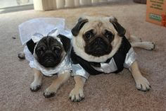 Wedding pugs!  (psst - I think the bride is a bit underaged for a wedding)