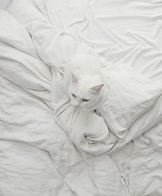 White cat on white sheets