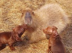 It's a photo set of a capybara named CHEESECAKE who is fostering orphaned dachshund puppies. That is all. #HOLYCRAP #WTF