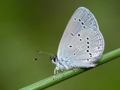 Small Blue Conservation, Moth, Butterfly, Blue, Animals, Animais, Animales, Animaux, Animal