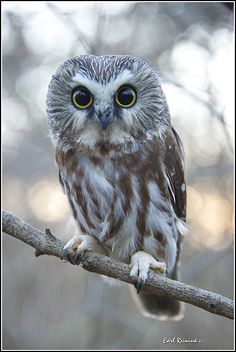 Northern Saw-whet owl | Earl Reinink