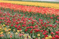 Skagit Valley Tulip Festival + How to Grow Tulips