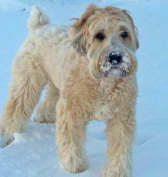 Buckeye the Wheaten Terrier