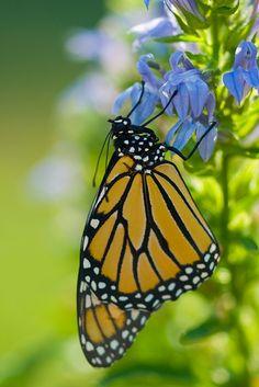 Beauty on blue ~ Monarch Butterfly