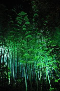 "ok...technically not a tree, but a grass...however, ""forest"" is the right word 
