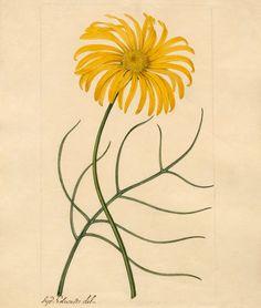 Edwards, Sydenham Teast -- Othonna nov. sp. -- Sydenham Teast Edwards -- Artists -- RHS Prints