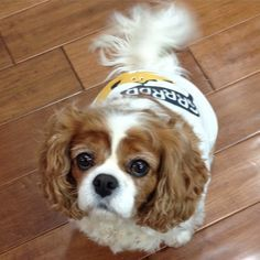 Ella, my Cavalier King Charles Spaniel wears a shirt because she has #epilepsy and it helps to keep her calm. #OhFaro