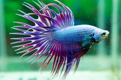 Siamese Fighting Fish - Green Lavender Dragon Crown tail Betta Splendens