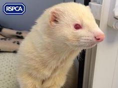Luigi, Ferret, Martlesham Animal Centre Pet Search, Ferret, Sadie, Luigi, Centre, Adoption, Wildlife, Pets, Animals