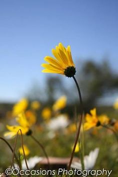 Another Flower from the colourful Namaqualand in the Western Cape