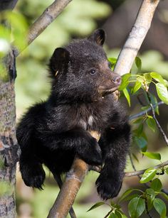 Bear Pictures, Animal Pictures, Cute Funny Animals, Cute Baby Animals, Bear Cubs, Grizzly Bears, Tiger Cubs, Tiger Tiger, American Black Bear