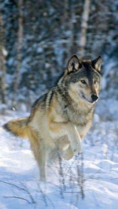 Timber Wolf by Mike Connie Duncan Norrell Wolf Photos, Wolf Pictures, Beautiful Creatures, Animals Beautiful, Cute Animals, Wild Animals, Baby Animals, Wolf Spirit, My Spirit Animal