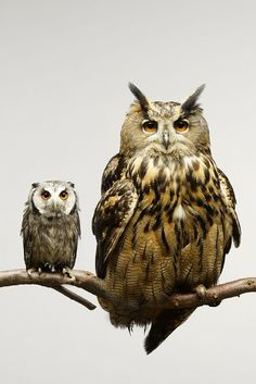 Stunning shot of an adult owl and a baby owl.