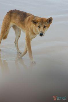 See wild dingos on Fraser Island, Queensland, Australia