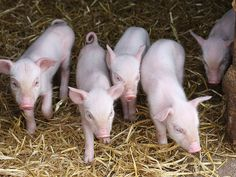 Gorgie City Farm Edinburgh Pigs and Piglets by Gill Adamson Bambucas, via Flickr