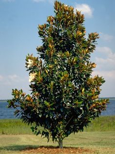 Magnolia grandiflora Exmouth Exotic with non-invasive roots. Grows to 10 metres high x 5 metres wide. Evergreen tree with conical growth habit, leaves are glossy green. Creamy white perfumed flowers from spring to autumn. Ideal as tall screen or specimen tree.