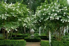 Co Co's Collection : Formal garden # structure # roses # boxwood  Grove of crepe myrtles outline with boxwood